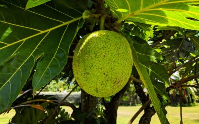 """Uru"" – The breadfruit"